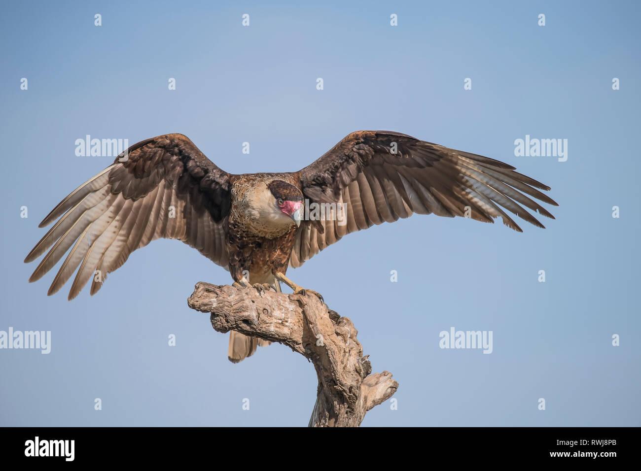Caracara (Falconidae) landing on a dead tree, Martin Ranch; Edinburg, Texas, United States of America - Stock Image