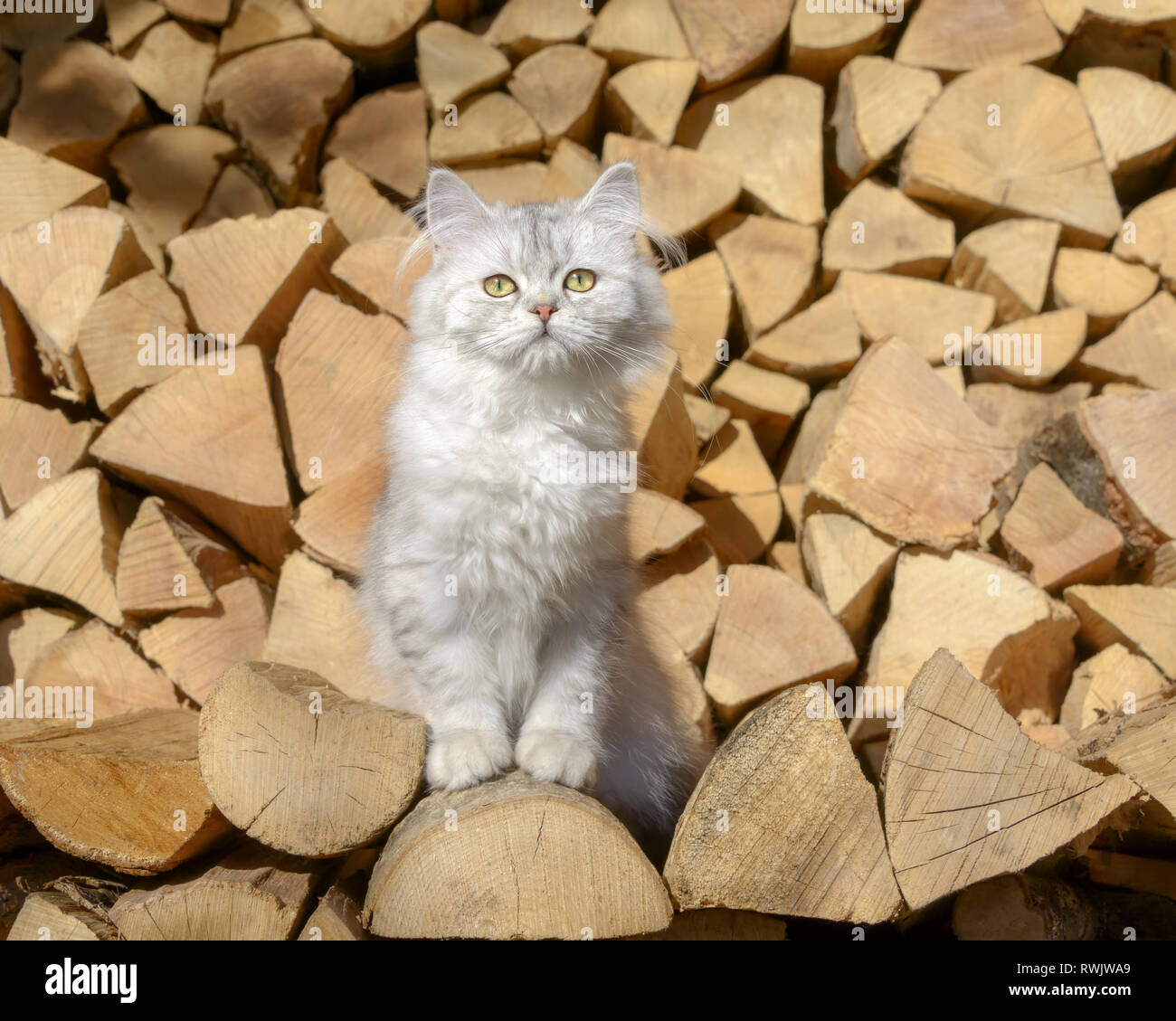 Cute young British Longhair cat kitten, black-silver-spotted-tabby, sitting on a stack of logs in a garden and looking curiously Stock Photo