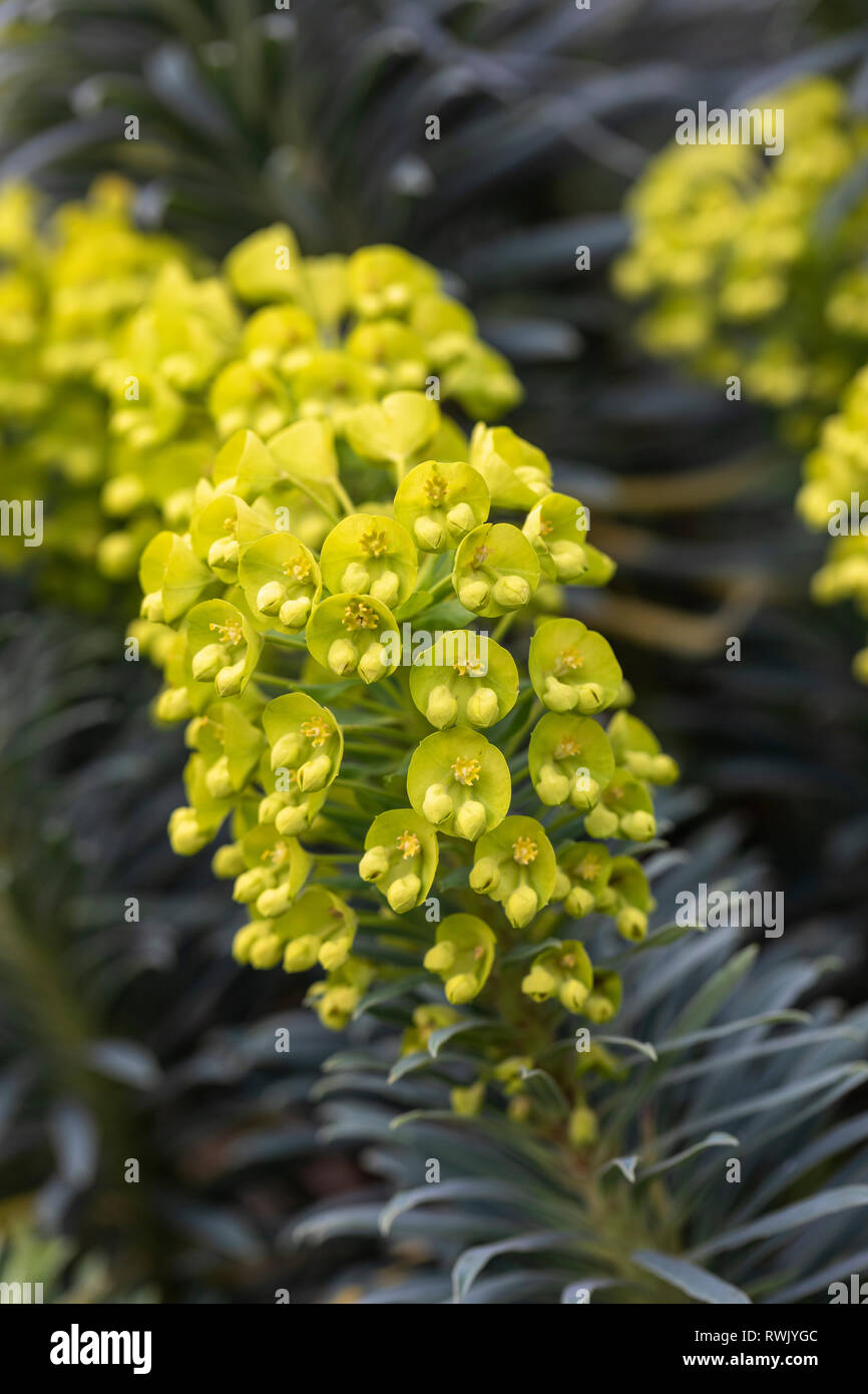 Close up of Euphorbia characias wulfenii flowering in February - Stock Image