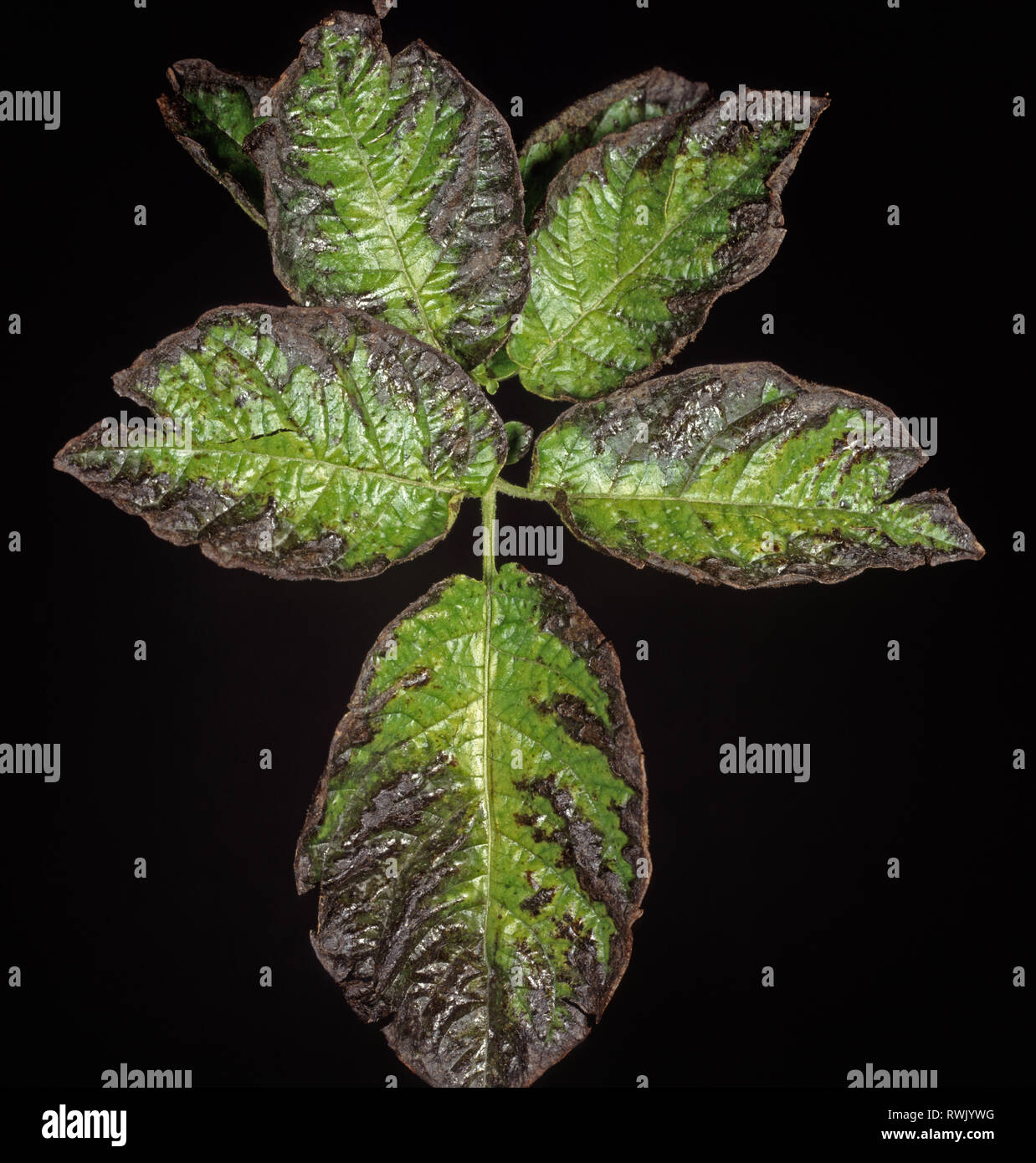 Marginal blackening caused by potassium deficiency to potato leaves - Stock Image