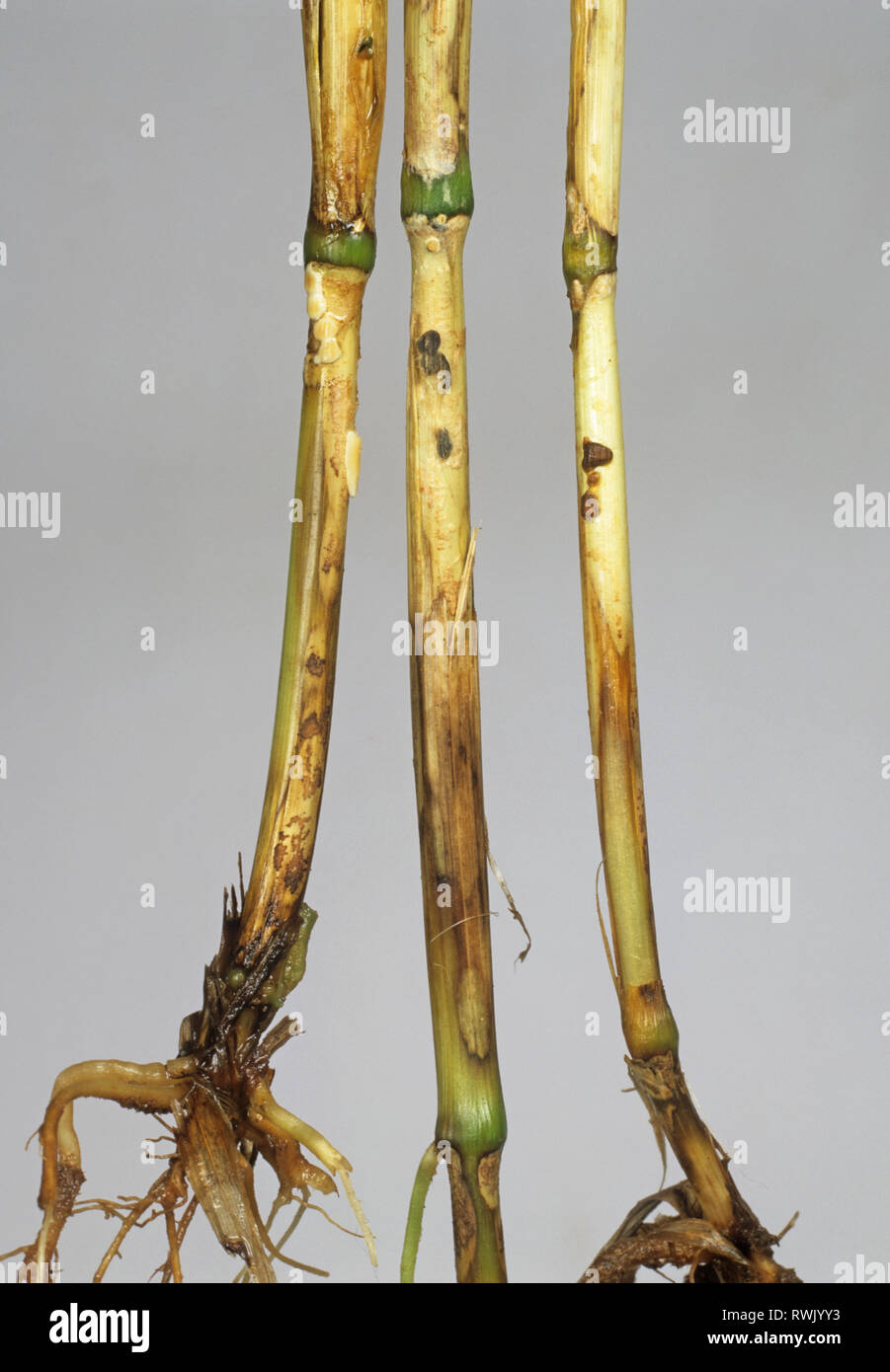 Sharp eyespot, Ceratobasidium cereale, lesions on wheat stem bases - Stock Image