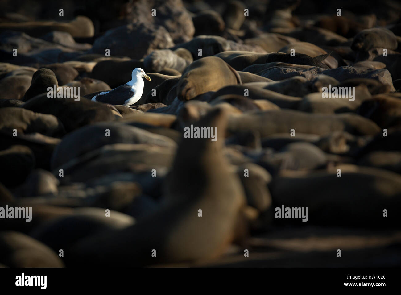 A seagull walks through a cape fur seal colony at Cape Cross on the Skeleton Coast of Namibia. - Stock Image