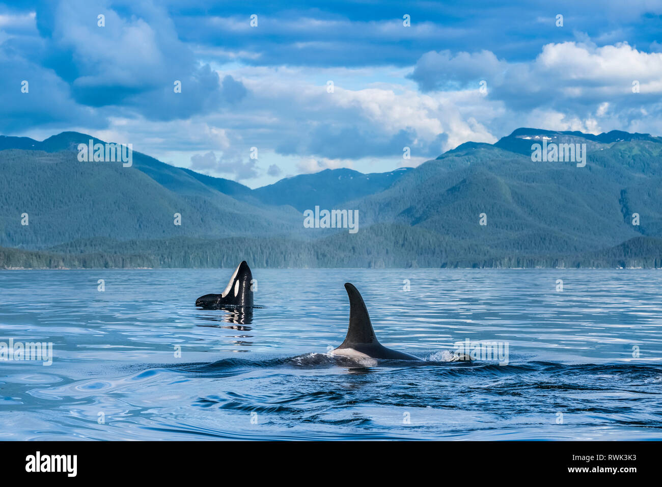 Orcas (Orcinus orca), also known as a Killer Whales, surface in Chatham Strait, spy hop in background, Inside Passage - Stock Image