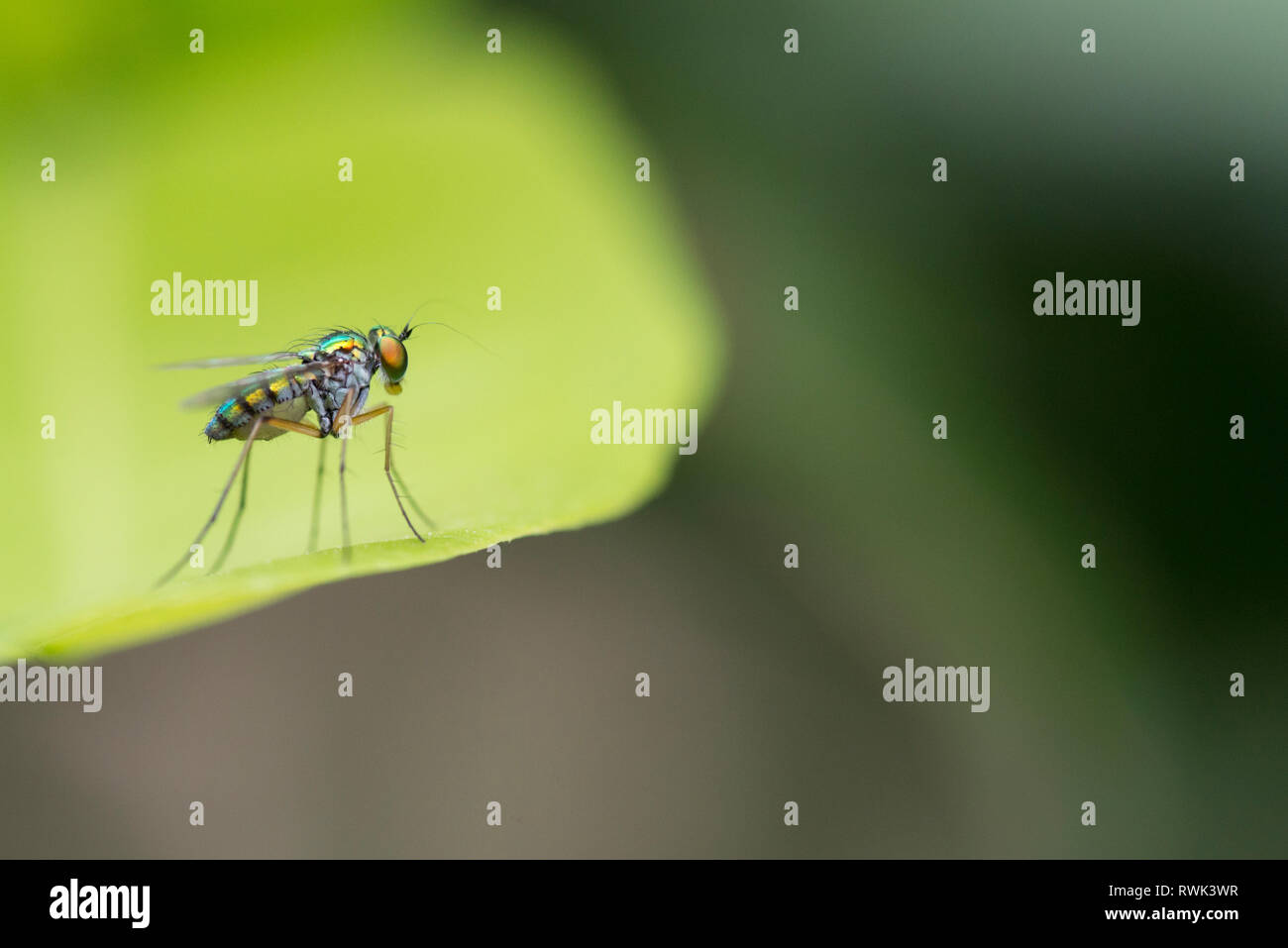 An Asilidae or robber fly, also called assassin flies is a powerful and aggressive diptera insect Stock Photo