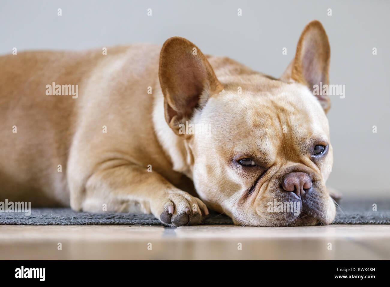 dd86737e6ca1 White Brown French Bulldog Puppy Stock Photos   White Brown French ...