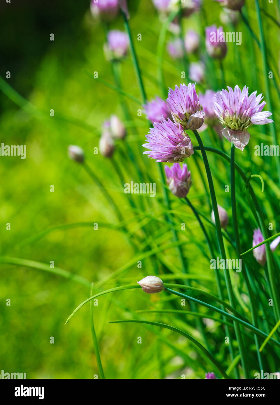 Close-up of Purple Chives blooming in the garden. - Stock Image