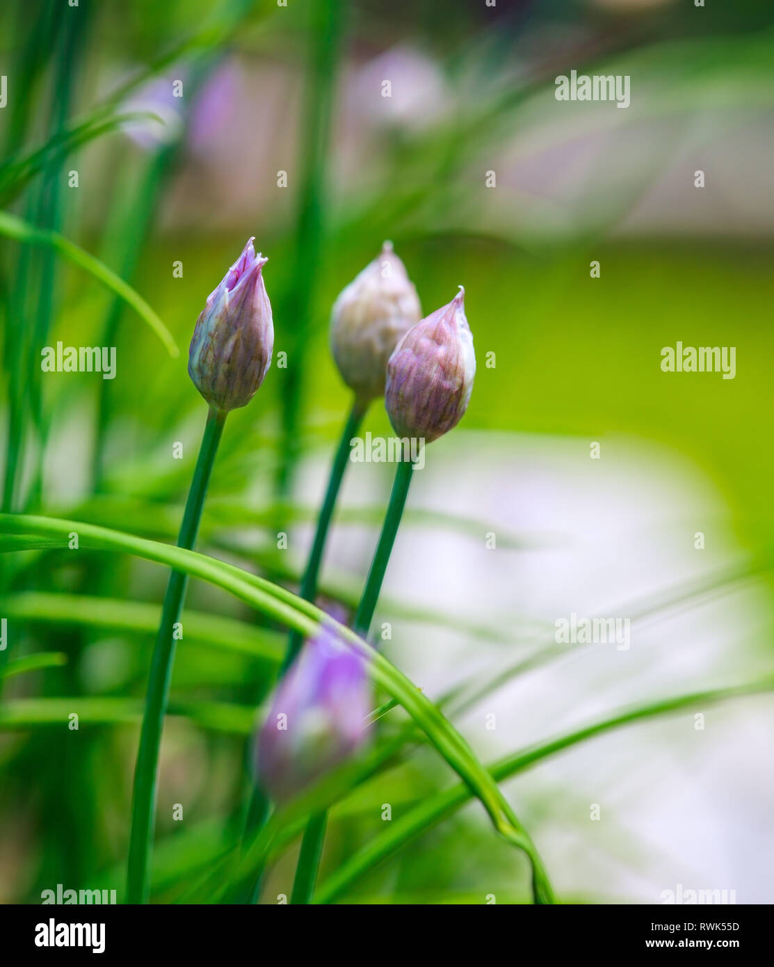 Close-up of Chives about to bloom in the garden. - Stock Image