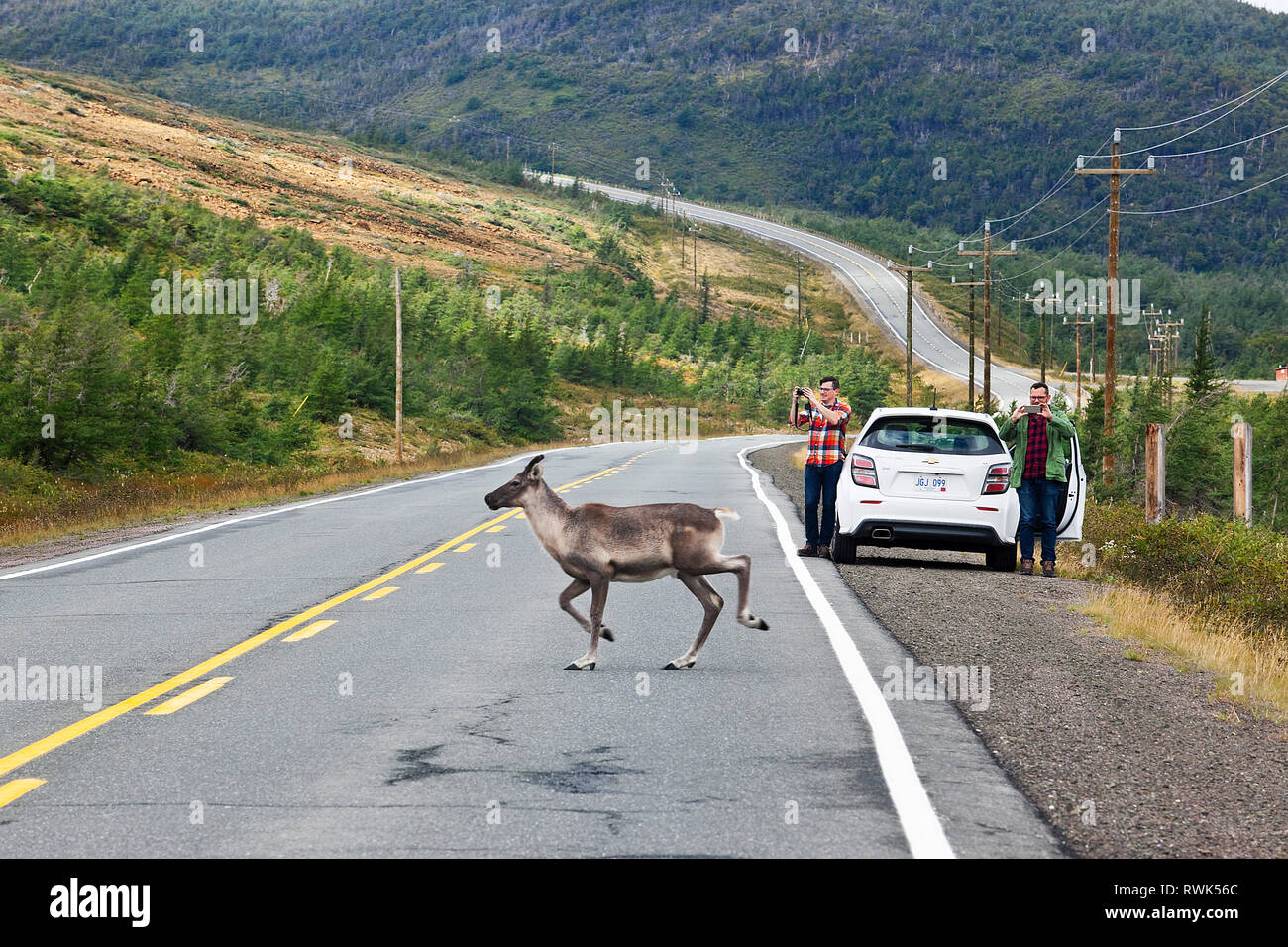 Tourists stopped by a highway snapping pictures of a caribou crossing behind their parked car. Route 431, The Tablelands, Gros Morne National Park, Ne - Stock Image
