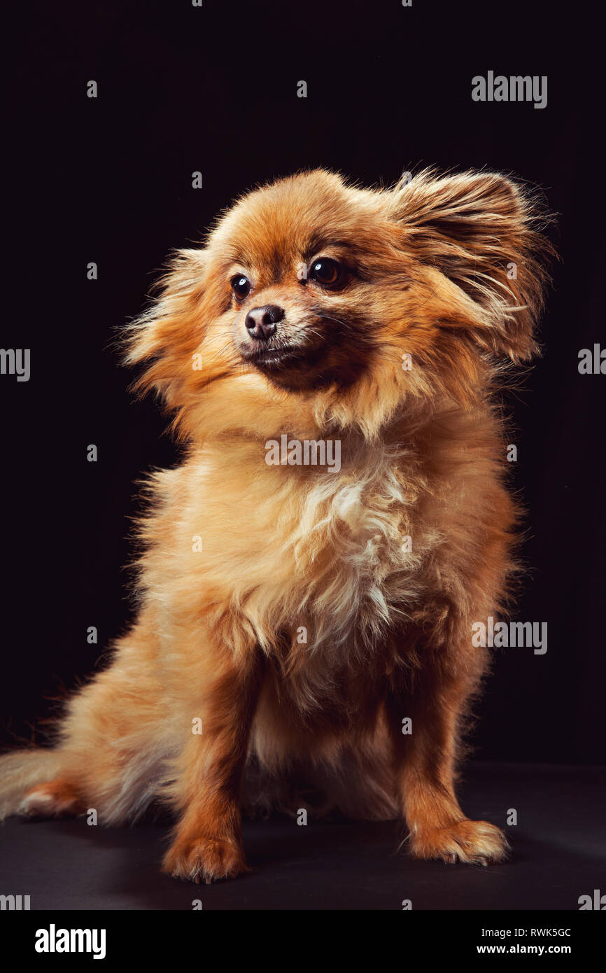 Full-body studio portrait of a Pomeranian dog looking off camera, photographed on a black background. - Stock Image