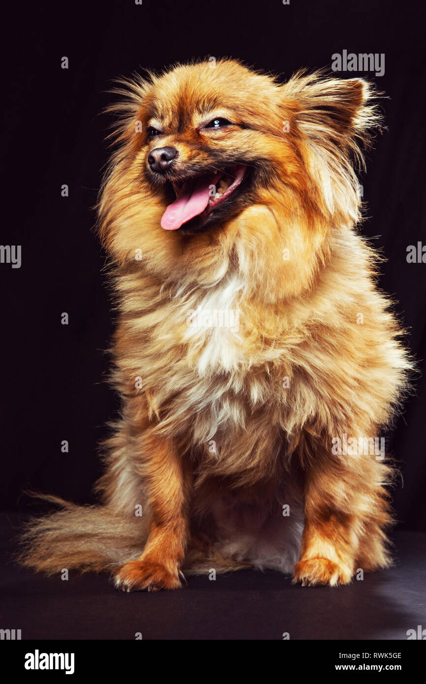 Studio portrait of a pomeranian dog facing camera and looking off laughing. - Stock Image
