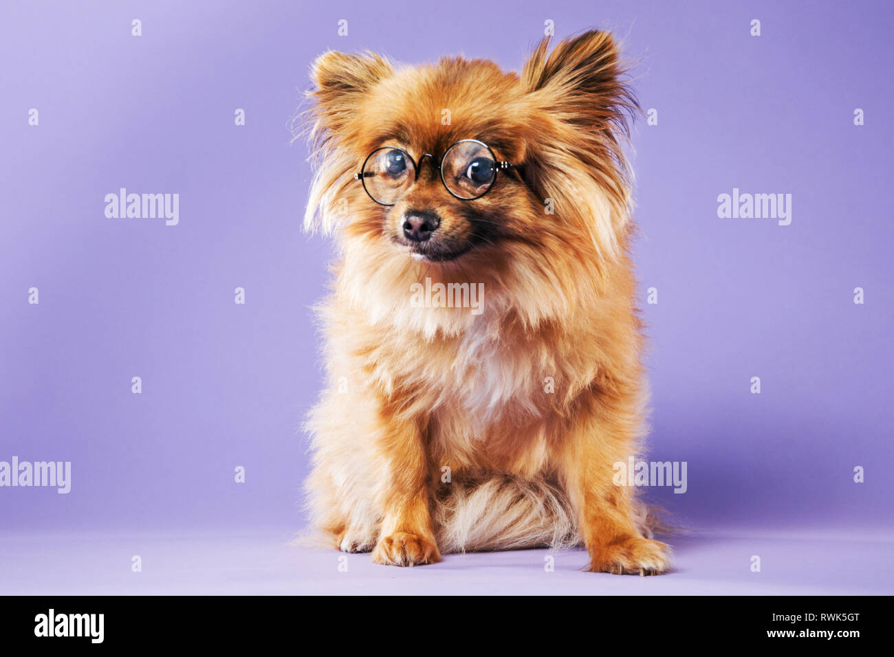 Full-body portrait of a Pomeranian dog wearing eyeglasses and looking directly at camera. - Stock Image