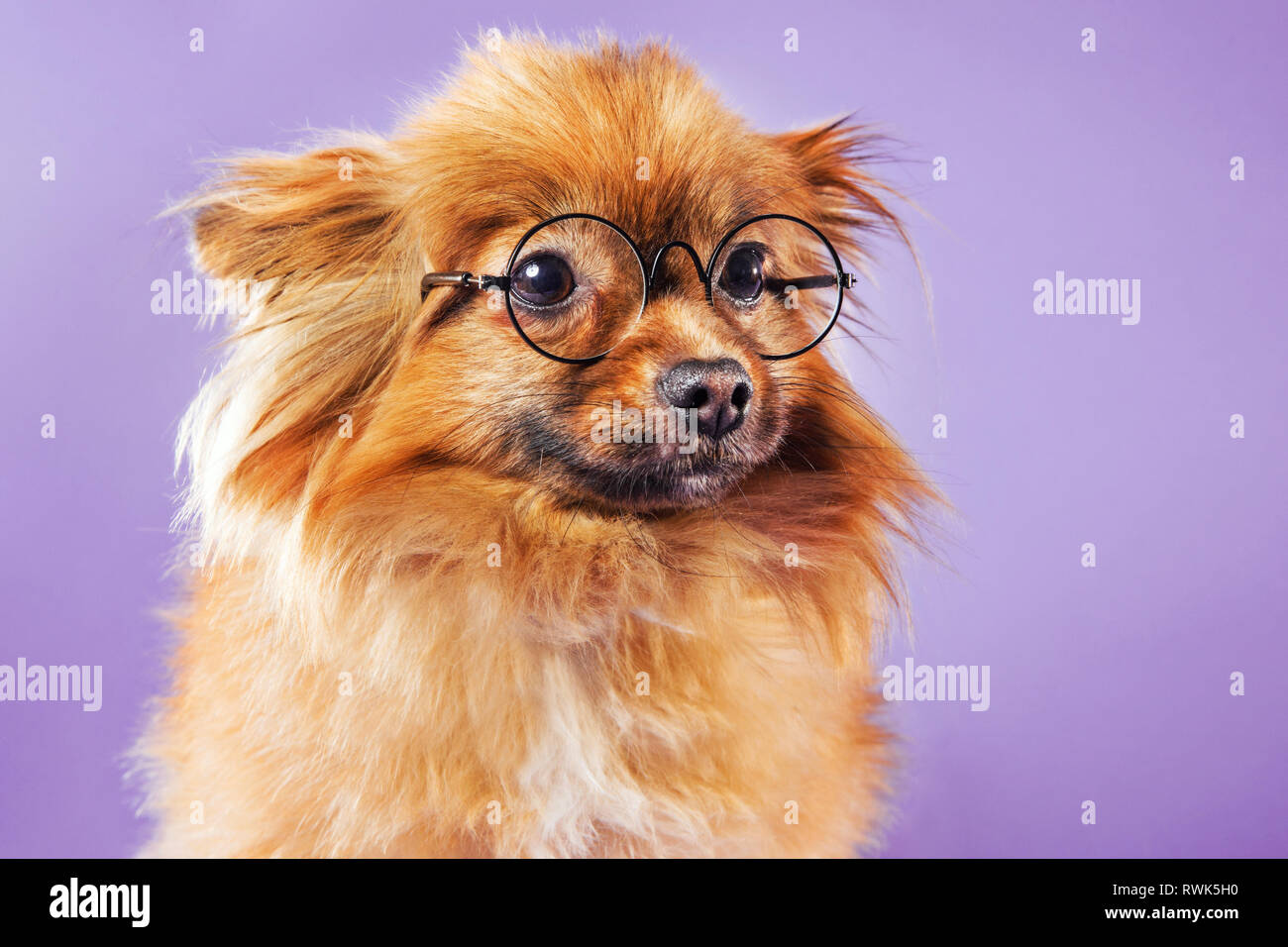 Close-up portrait of a Pomeranian dog wearing eyeglasses and looking off-camera, photographed on a colorful background. - Stock Image