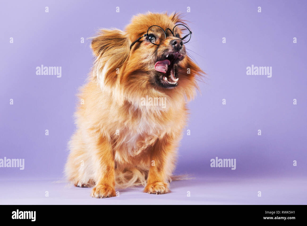 Full-body studio portrait of a Pomeranian dog wearing eyeglasses and licking its chops on a colorful background. - Stock Image