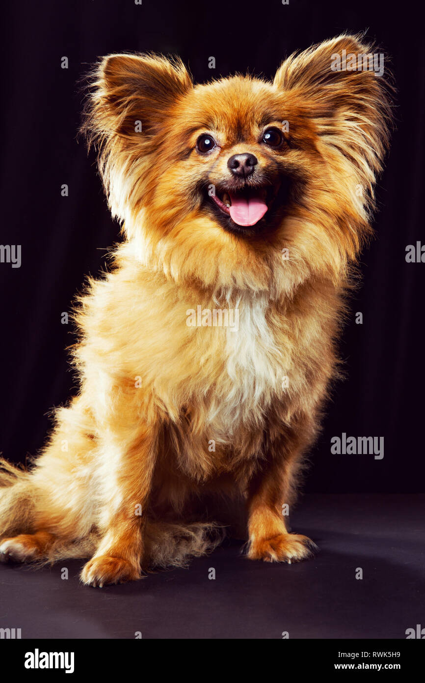 Full-body portrait of a Pomeranian mix dog facing camera and smiling on a dark background. - Stock Image