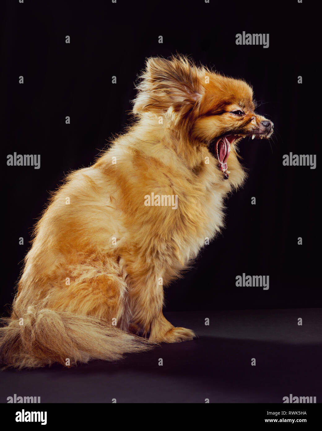 Profile of a pomeranian mix dog mouth wide open on a black background. - Stock Image
