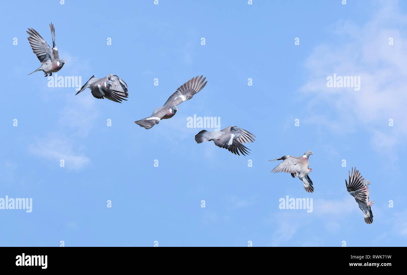 Wood pigeons showing several different stages of flight, from takeoff to landing. Woodpigeon flying. Wood pigeons in flight sequence. - Stock Image