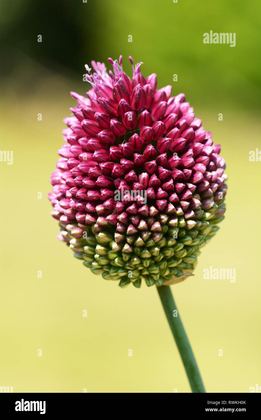 Alium Sphaerocephalon purple and green bud from Treborth botanical gardens - Stock Image