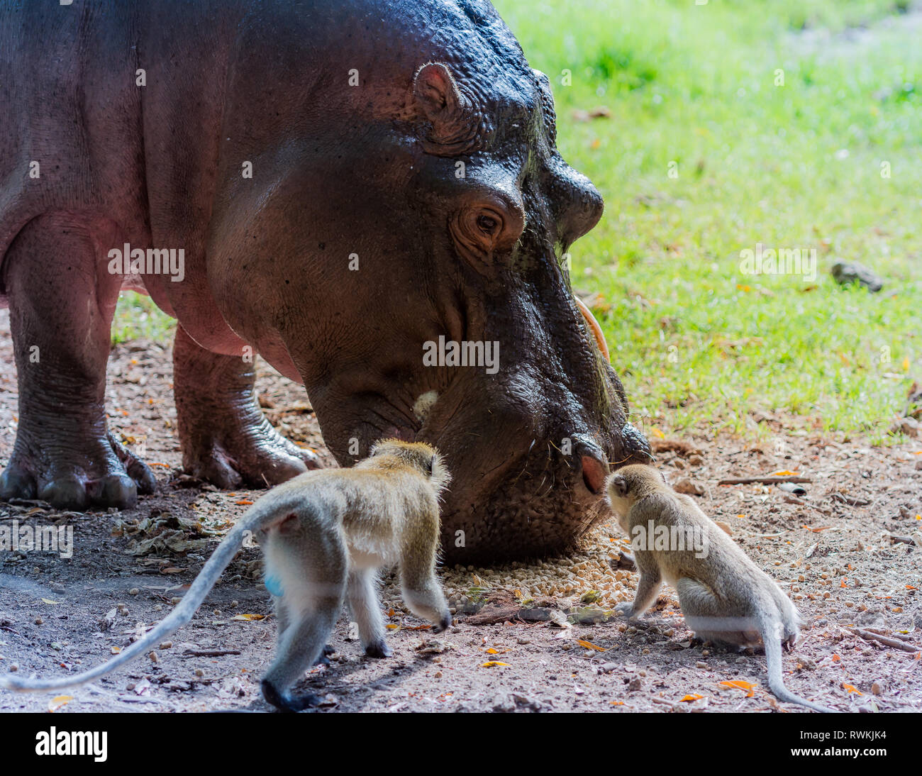 A hippo with Two Monkeys - Stock Image