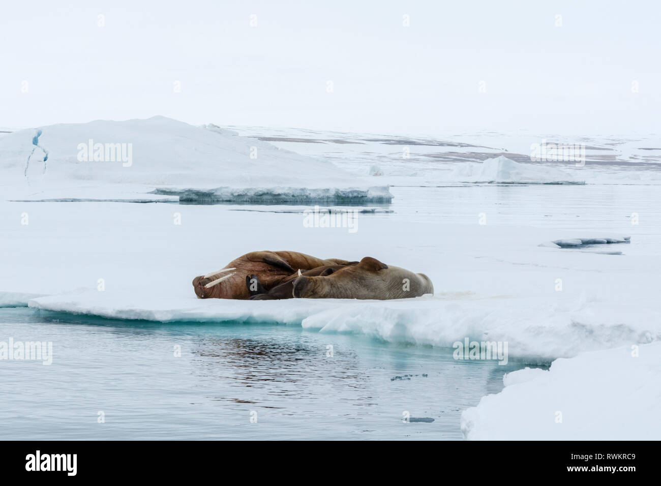Atlantic walrus (Odobenus rosmarus) lying on iceberg, Vibebukta, Austfonna, Nordaustlandet, Svalbard, Norway Stock Photo