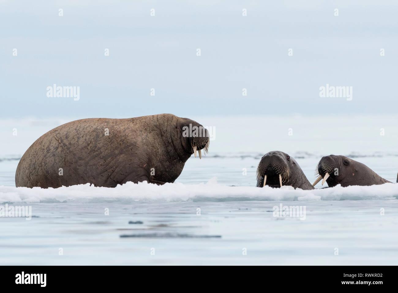 Atlantic walrus (Odobenus rosmarus) on and around icebergs,  Vibebukta, Austfonna, Nordaustlandet, Svalbard, Norway Stock Photo