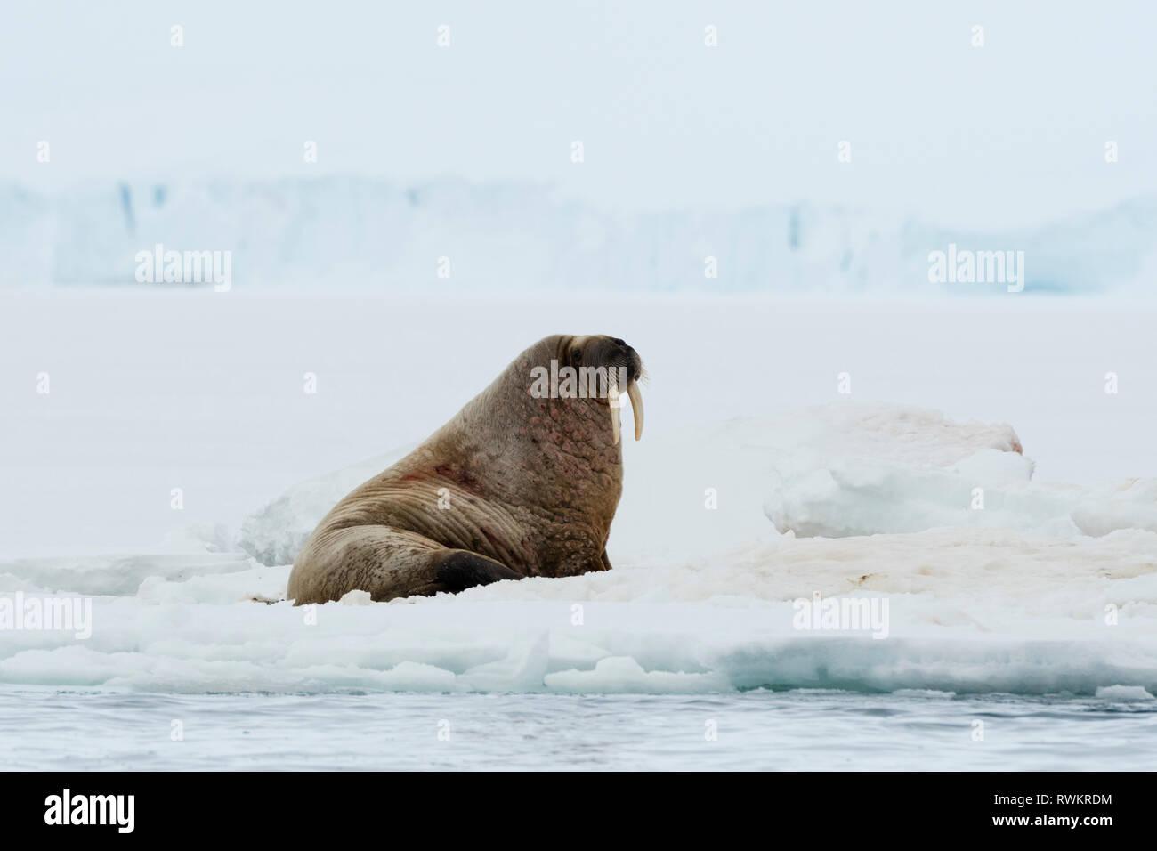 Atlantic walrus (Odobenus rosmarus) on iceberg,  Vibebukta, Austfonna, Nordaustlandet, Svalbard, Norway Stock Photo