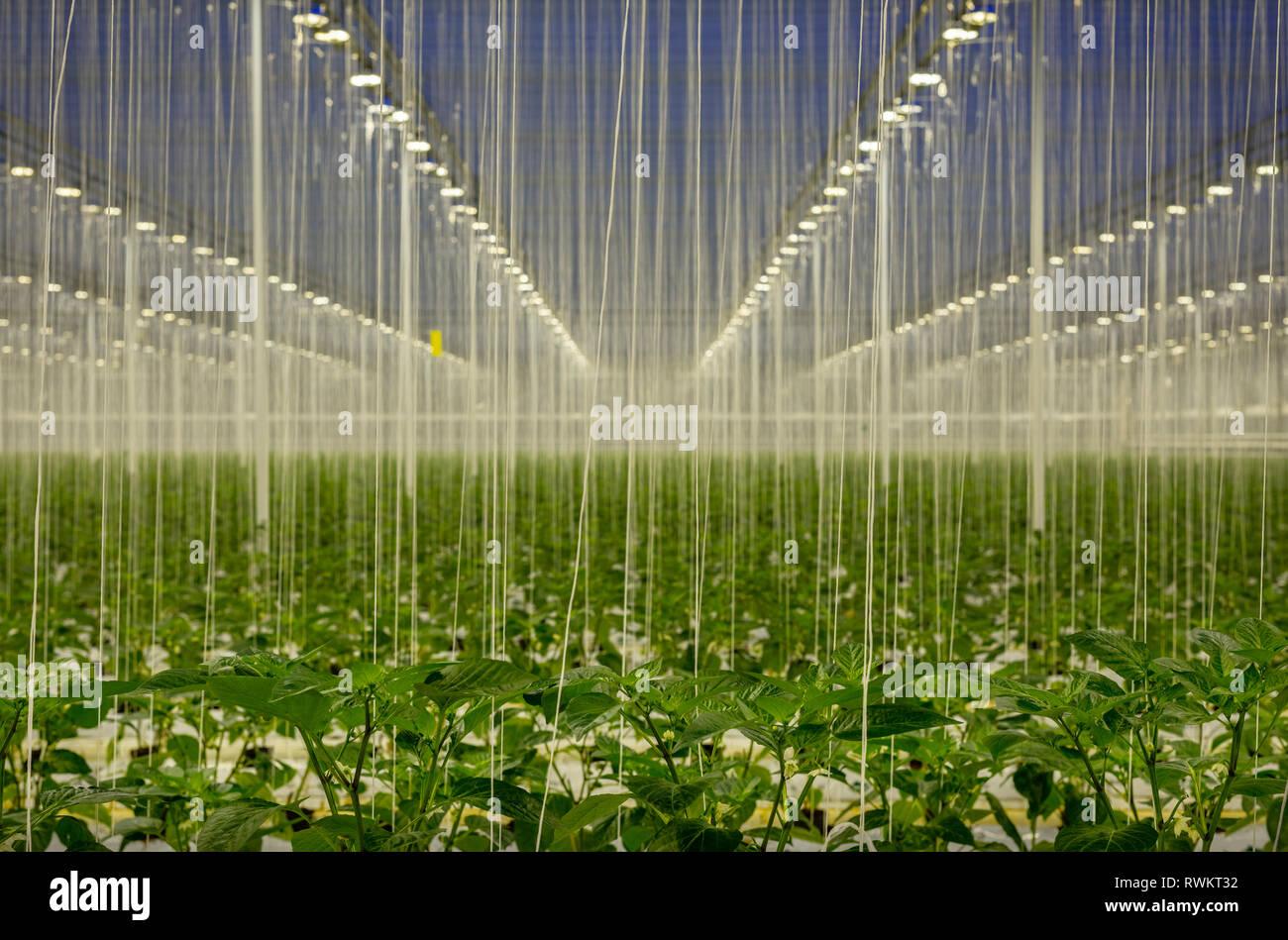 Growing bell peppers in modern dutch greenhouse, Zevenbergen, Noord-Brabant, Netherlands Stock Photo