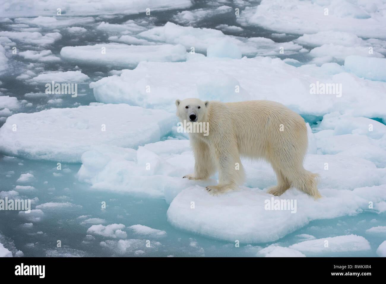 Polar bear (Ursus maritimus), Polar Ice Cap, 81north of Spitsbergen, Norway - Stock Image