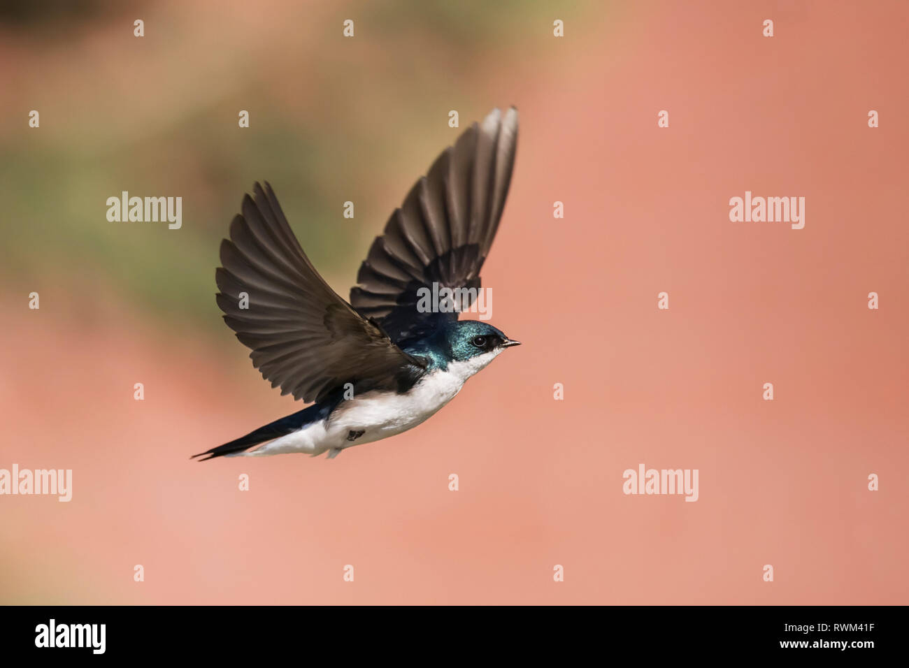 Tree swallow (Tachycineta bicolor) in flight, taken at Lac le Jeune, near Kamloops; British Columbia, Canada Stock Photo