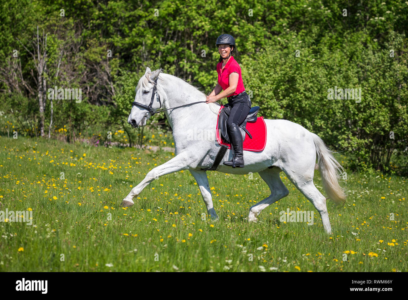 Lusitano. Rider on a old gray gelding trotting on a meadow. Germany - Stock Image