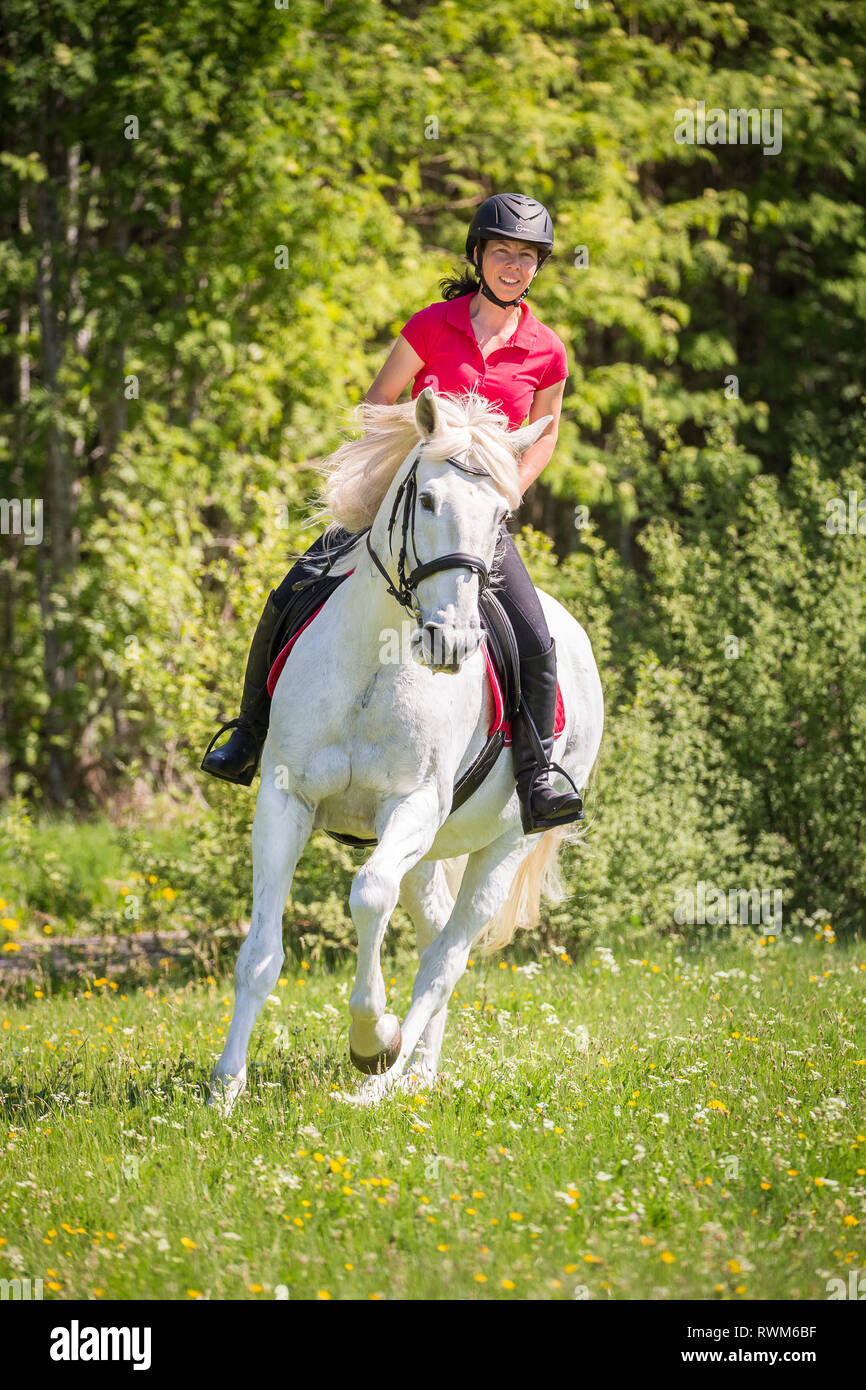 Lusitano. Rider on a old gray gelding galloping on a meadow. Germany - Stock Image