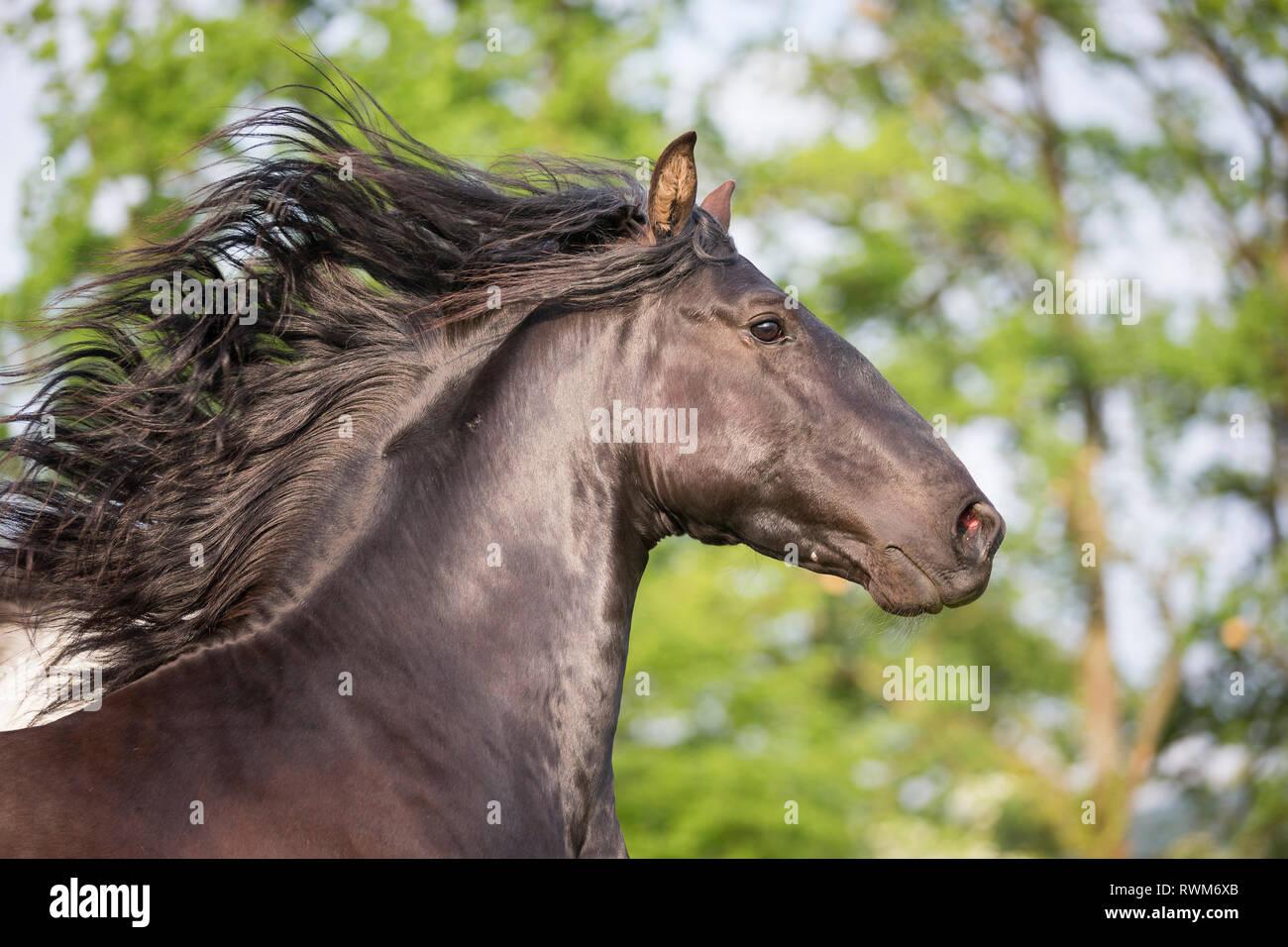 Lusitano. Portrait of juvenile black stallion with mane flowing. Switzerland - Stock Image