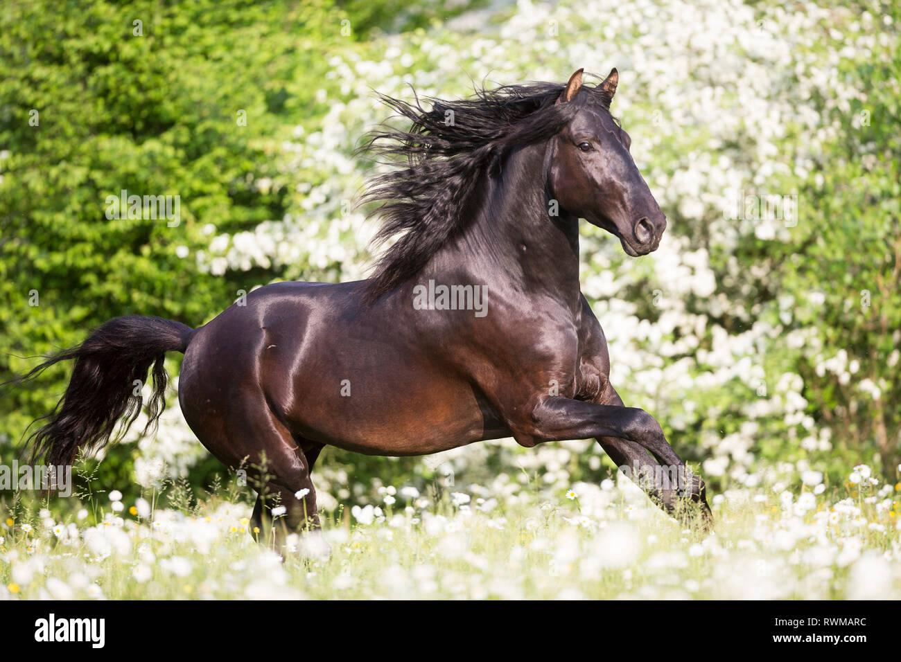 Lusitano. Juvenile black stallion galloping on a pasture in spring. Switzerland - Stock Image