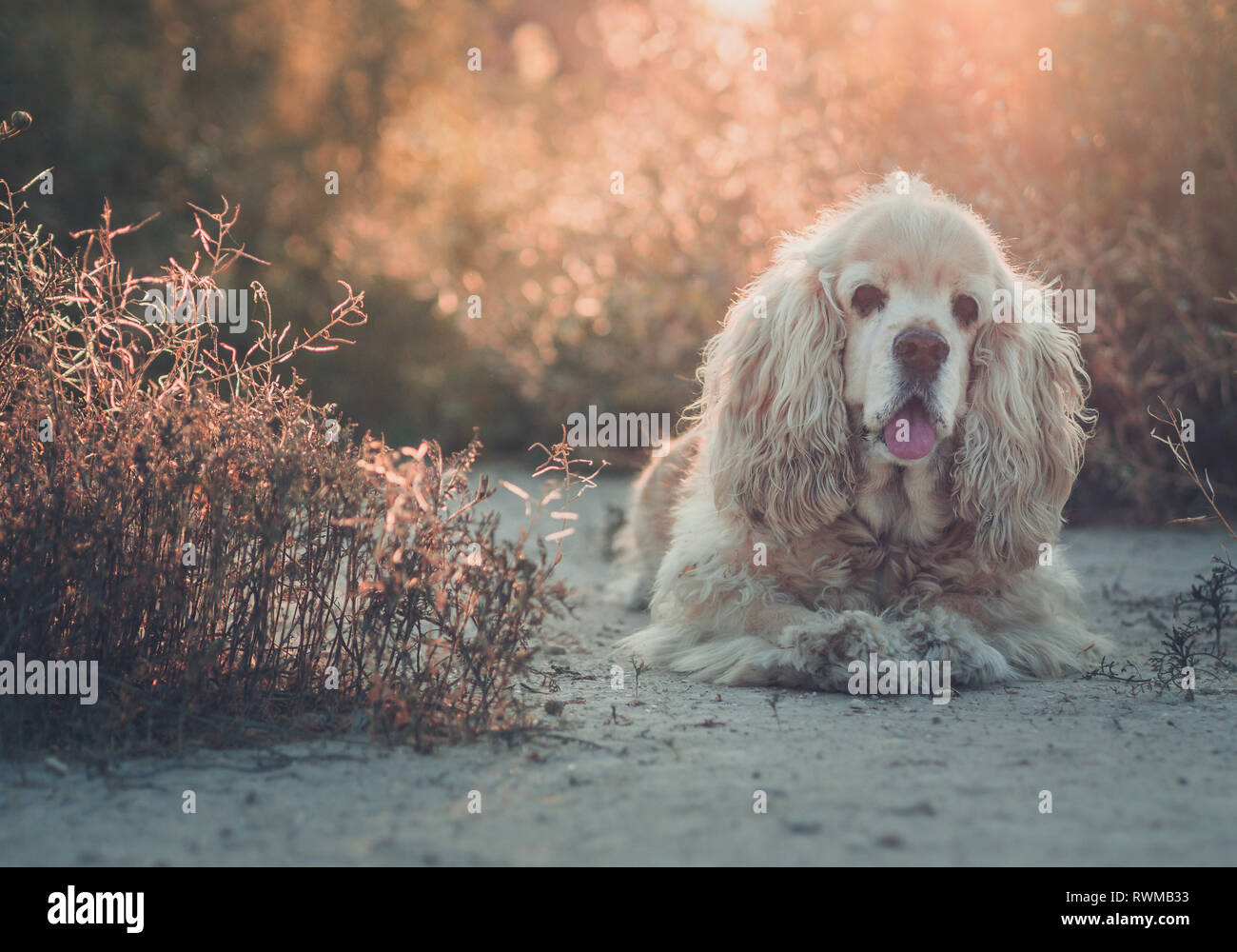 Beautiful funny Cocker resting on soil between plants at sunset on blurred background - Stock Image