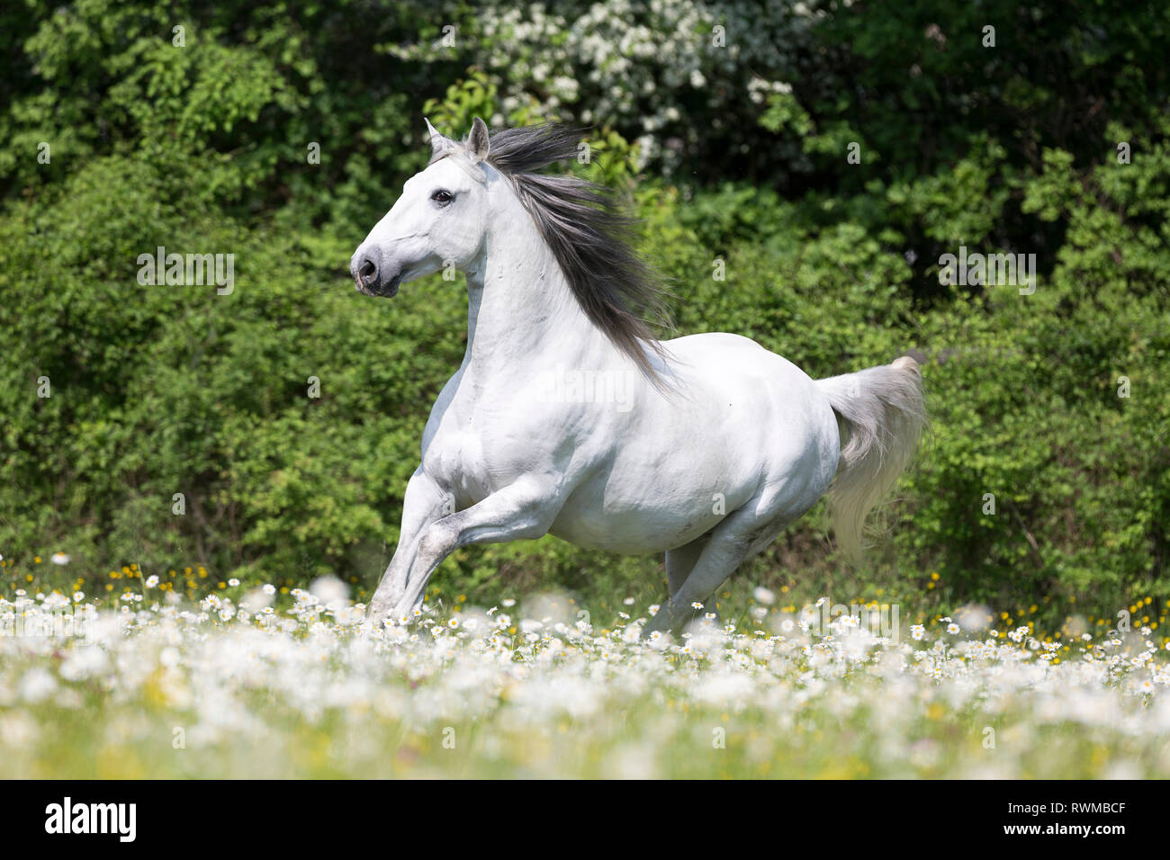 Lusitano. Gray stallion galloping on a pasture in spring. Switzerland - Stock Image