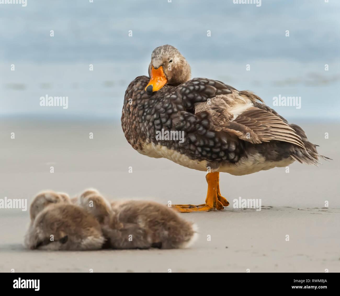 Falkland steamer duck (Tachyeres brachypterus) with chicks on the beach; Saunders Island, Falkland Islands - Stock Image