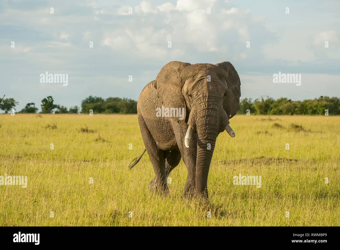 African elephant (Loxodonta) on the Serengeti; Tanzania - Stock Image