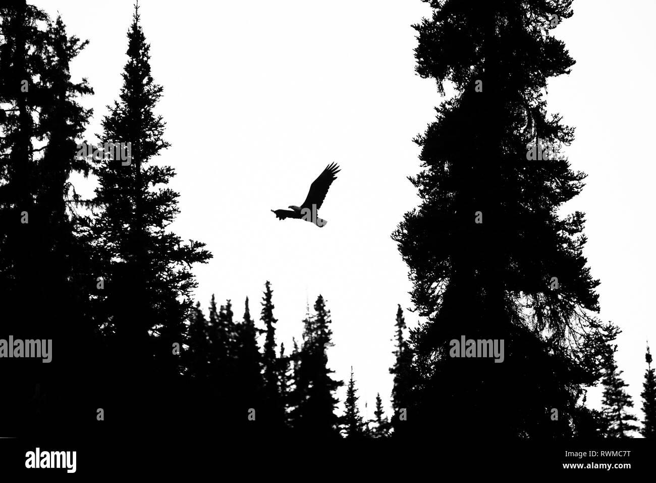 Silhouette of a Bald eagle (Haliaeetus leucocephalus) flying through the tree tops; Atlin, British Columbia, Canada - Stock Image