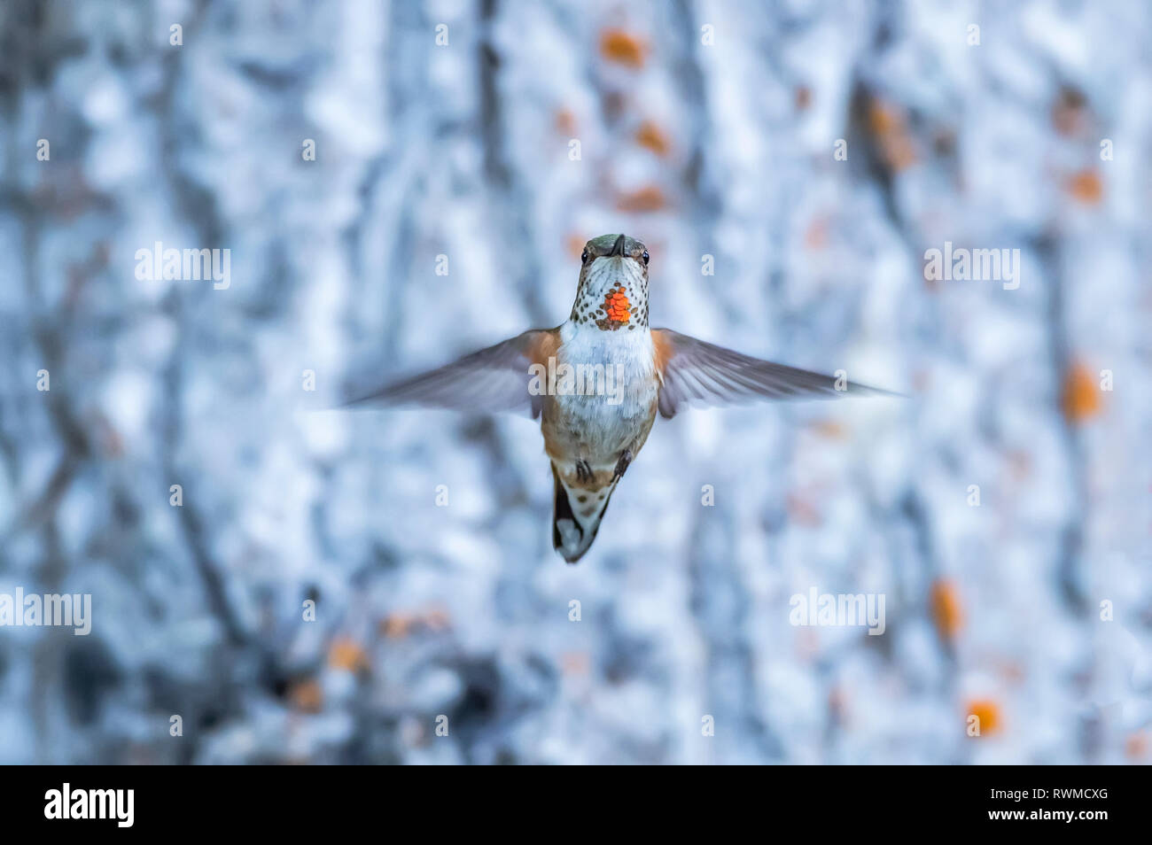 Rufous hummingbird (Selasphorus rufus) flying in mid-air; Atlin, British Columbia, Canada Stock Photo