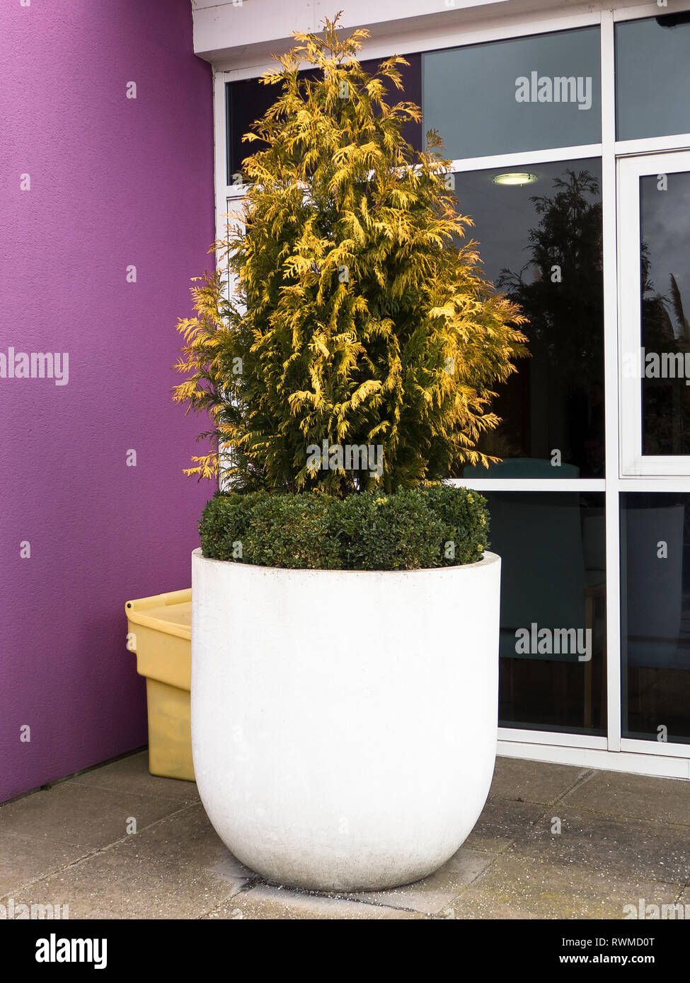 An impressive large white round planter containing a specimen golden leafed evergreen conifer surrounded by a low-growing box edging located outside t - Stock Image