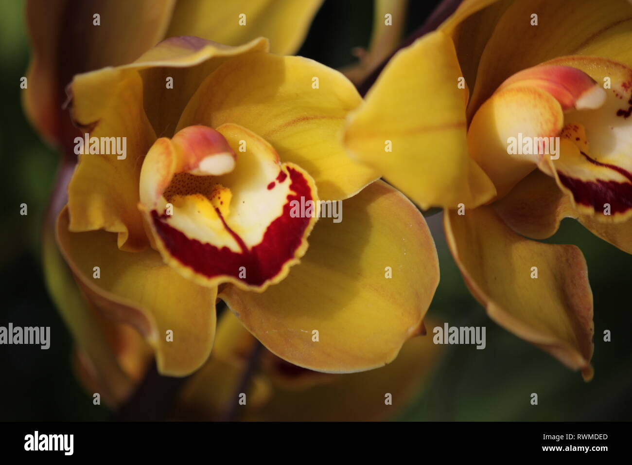 Beautiful, fresh cymbidium orchids flowers and plants at the Lincoln Park Conservatory in Chicago, Illinois. Stock Photo
