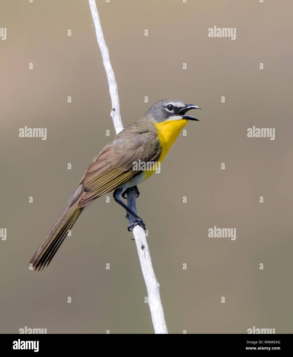 Yellow-breasted Chat, Icteria virens, sings at Saskatchewan Landing provincial Park, Saskatchewan - Stock Image