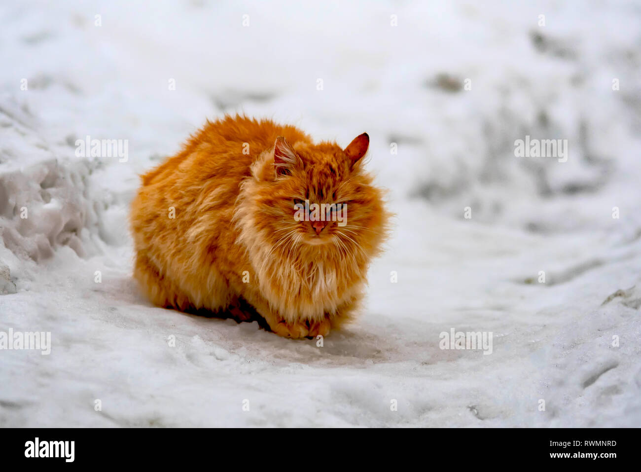 street homeless red cat sitting on the snow - Stock Image