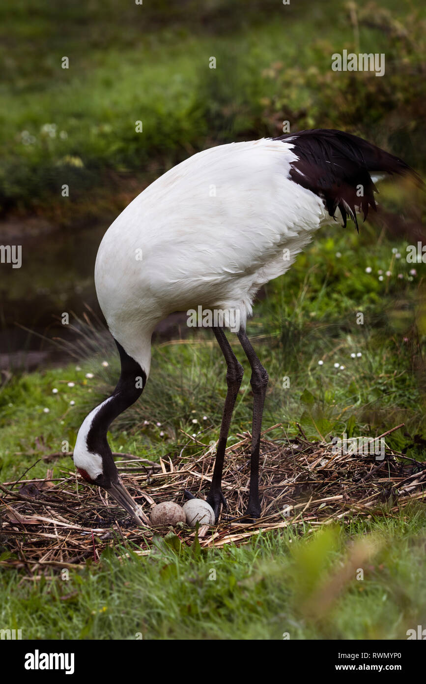 Red Crowned Crane looking after nest with eggs - Stock Image