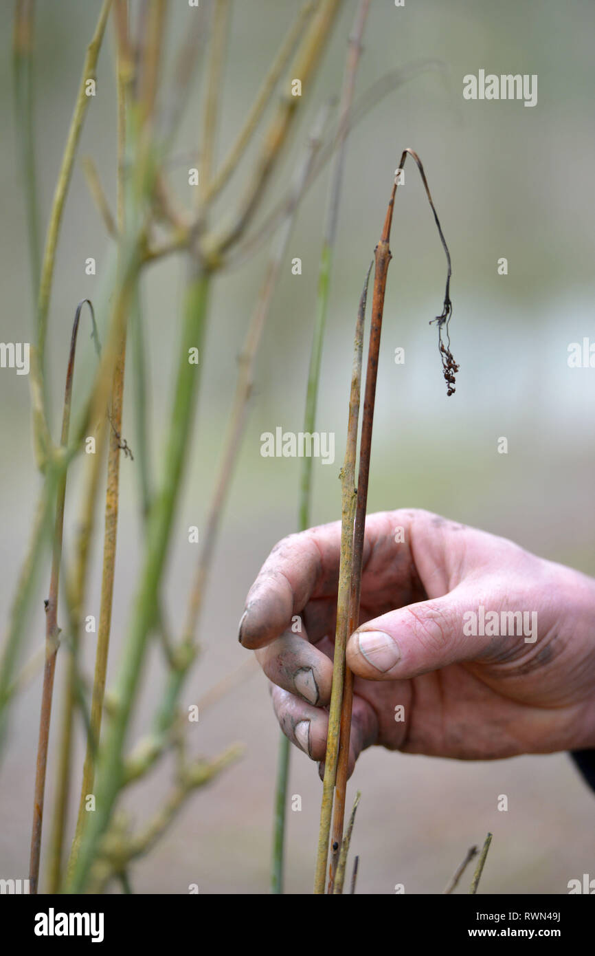 Withering shoots of an ash tree suffering from ash dieback fungus. - Stock Image