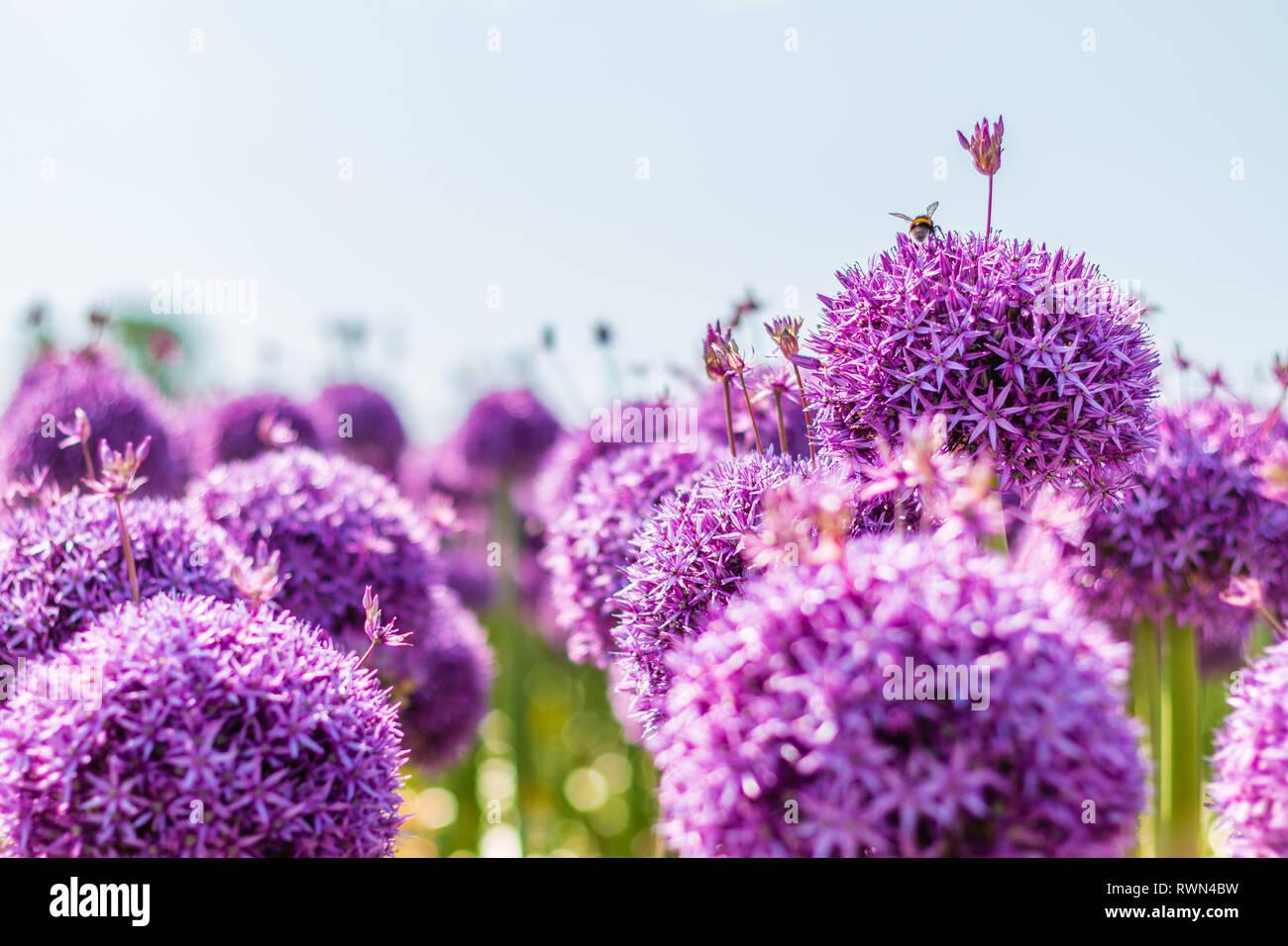 Bumblebee on beautiful purple star-spotted leeks - Stock Image
