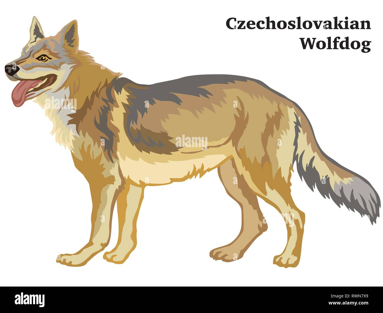 Decorative outline portrait of standing in profile dog Czechoslovakian Wolfdog, vector colorful illustration isolated on white background. Image for d - Stock Image