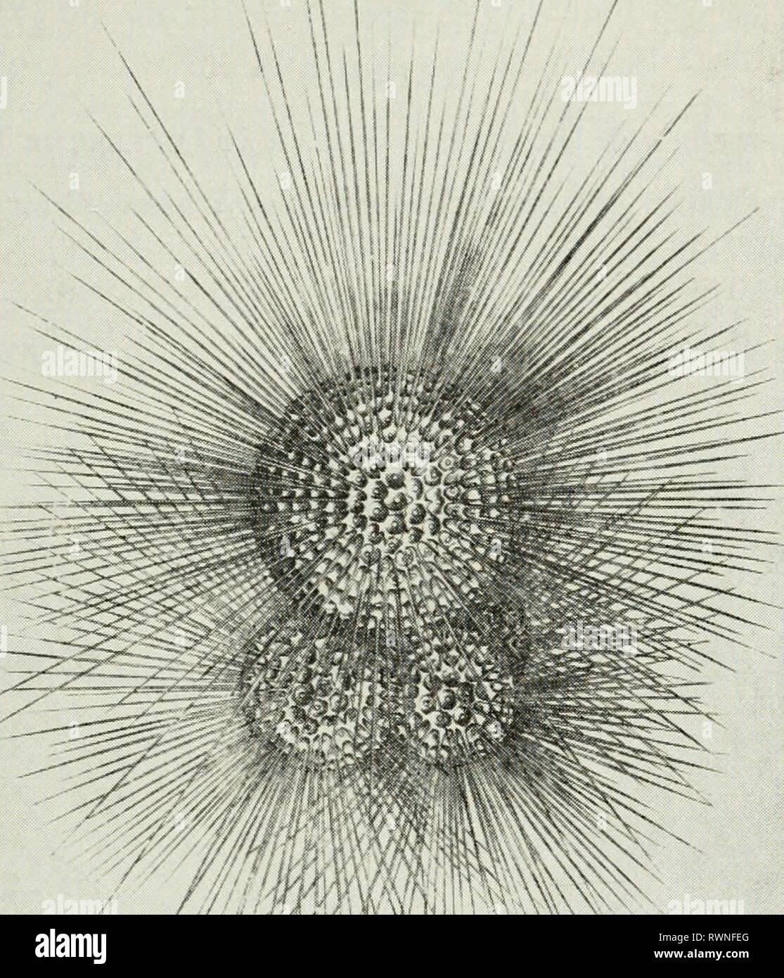 Elements of ecology (1954) Elements of ecology elementsofecolog00clar Year: 1954  Existence of Plankton 39    Murray and Hjort, 1911, copyright Macmillan & Co. Fig. 2.7. Globigerina buUoides, a planktonic protozoan belonging to the order Foraminifera. The largest sphere of the shell is about 0.5 mm in diameter. TABLE 1 Comparison of Sinking Rates of Three Types of Plankton Organisms WITH Those of Spherical Sand and Silt Particles Length or Diameter Sinking Rate (millimeters) (meters per day) Sand grain 1.0 8600. Copepod {Calarms) 3.0 576. Silt particle 0,01 14 5 Diatom {NUzschia) 0.0^>0 0.0 - Stock Image