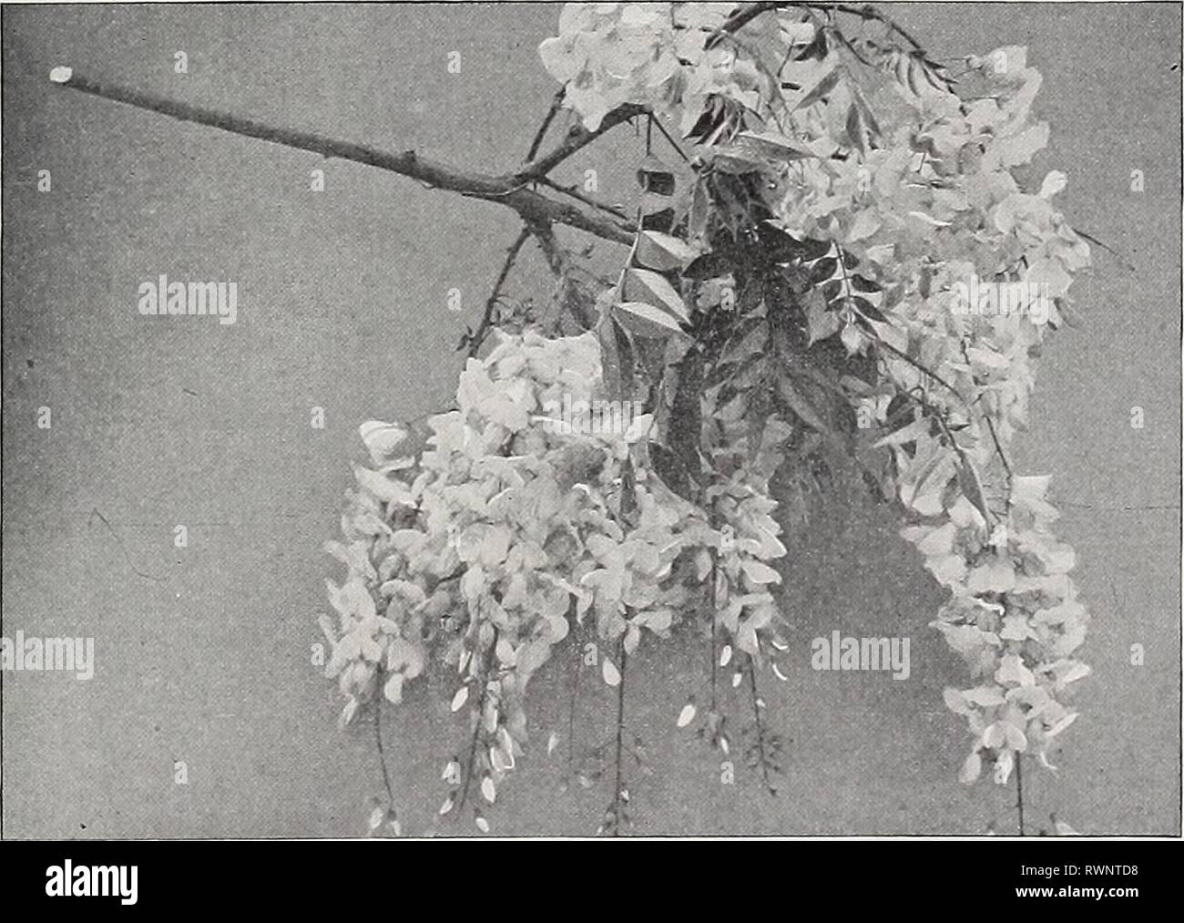 Ellwanger & Barry  Mount Ellwanger & Barry : Mount Hope nurseries ellwangerbarrymo1898moun Year: 1898  GENERAL CATALOGUE. 95 PERIPLOCA. Silk Vine. Schlinge, Ger. P. Graeca. Native of Southern Europe. A rapid-growing beautiful climber. Will twine around a tree or other support to the height of 30 or 40 feet. Fol- iage glossy, and purple brown axillary clusters of flowers. 35c. TECOMA. Trumpet Flower. Jasmintrompete, Ger. Bignone, Fr. T. radicans. American Climbing Trumpet Creeper A splendid, hardy, climbing plant, with large, trumpet-shaped scarlet flowrers in August. 35c. var. grandiflora. Lar Stock Photo