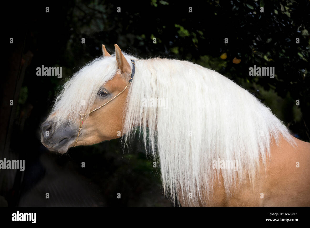 Haflinger Horse. Portrait of adult stallion against a black background. South Tyrol, Italy - Stock Image