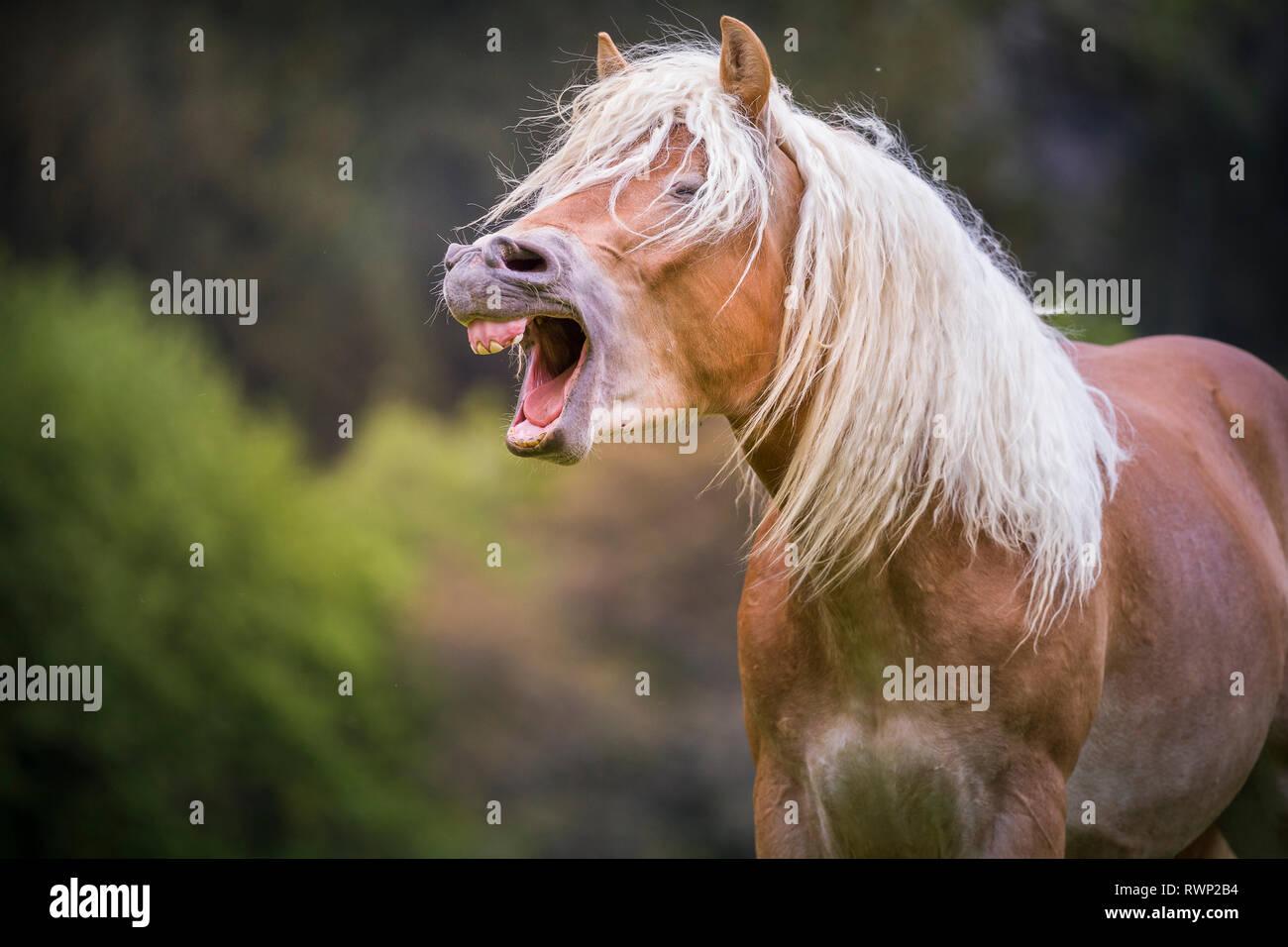 Haflinger Horse. Portrait of juvenile stallion, yawning. South Tyrol, Italy - Stock Image